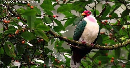 jambu fruit dove flying - photo #12