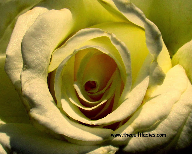 From White to Yellow Rose by Beth Ann Strub