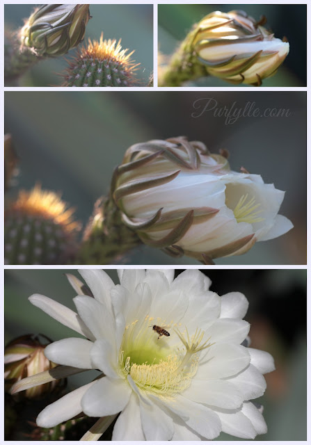 Cactus flower: bud to bloom
