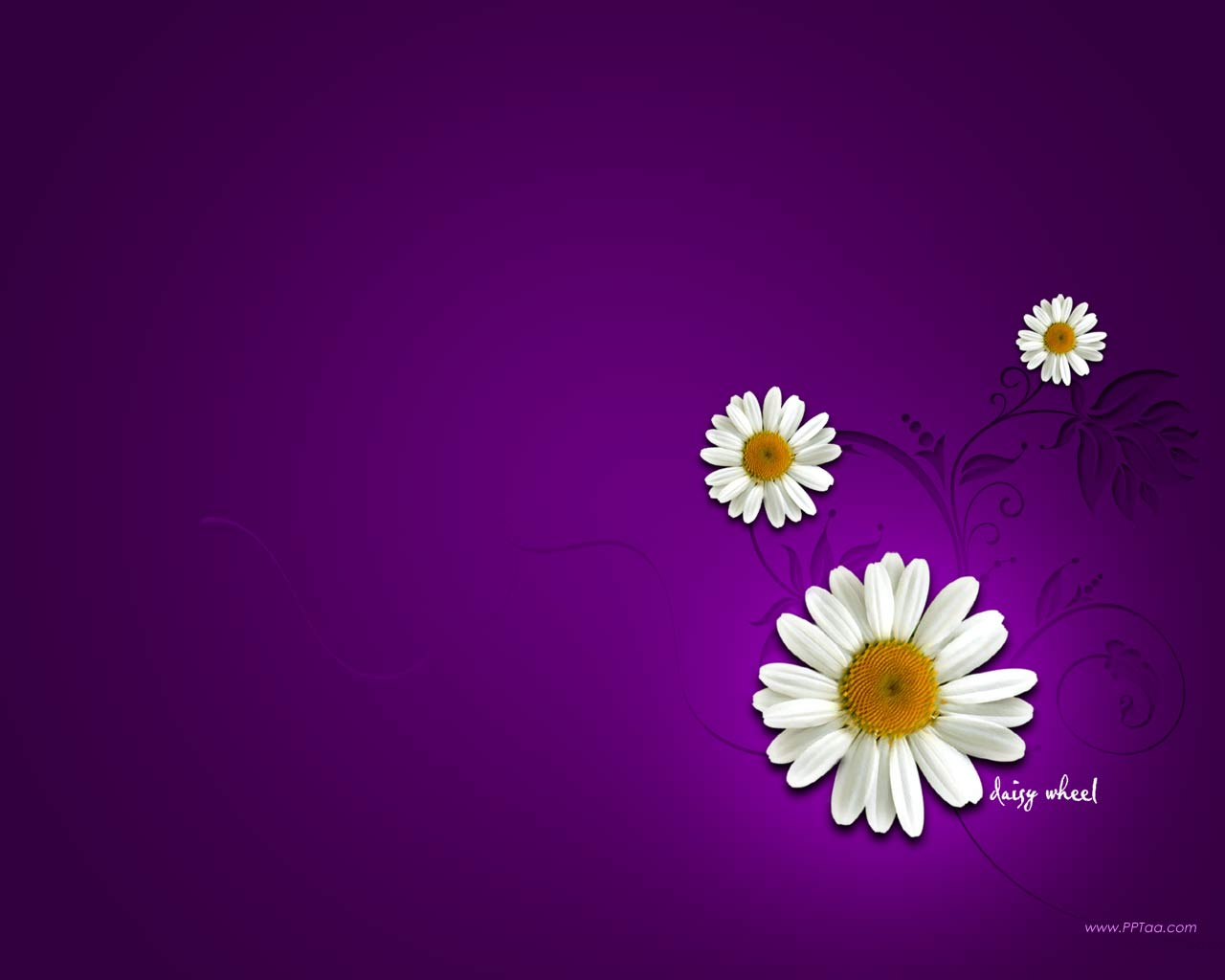 daisy flower wallpaper early flower