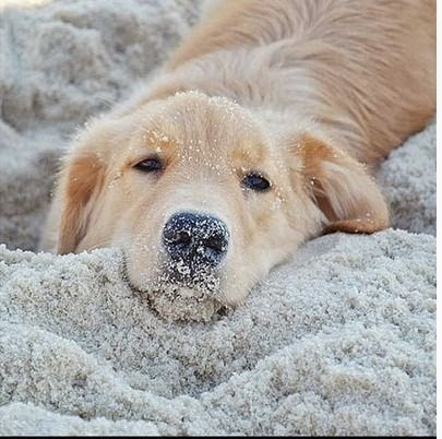 aplacetolovedogs: Adorable Golden Retriever enjoying a beautiful day at the beach in Brazil! @happy_golden For more cute dogs and puppies