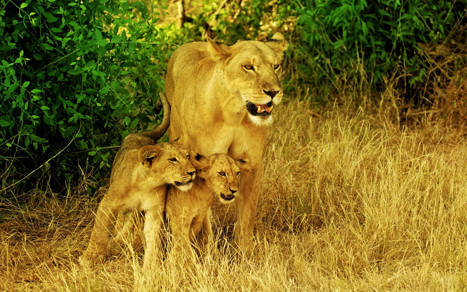 Lion family hd - photo#23