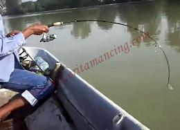 Gila Mancing Ikan Patin Besar Pegang Ekor Mantap