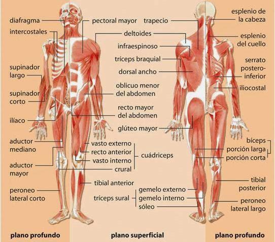 Morfofisiología 1: SISTEMA ÓSEO Y SISTEMA MUSCULAR
