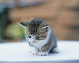 Kucing, Kucing Comel, Cat, Cute Cat, Anak Kucing, Kucing Manja