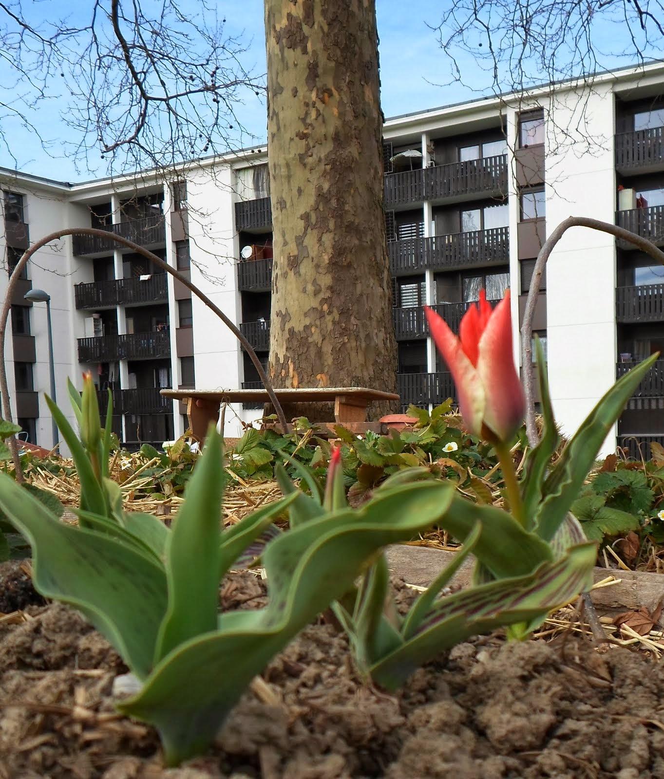 La première tulipe 15 mars 2014