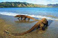 Komodo Dragon Action on the Beach