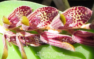 Acianthera pubescens do blogdabeteorquideas