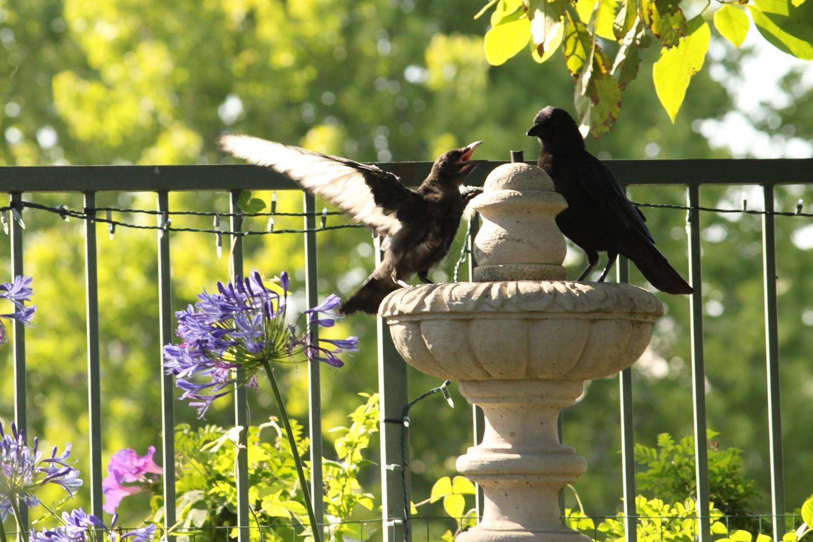 the backyard birder a rare piebald crow steals birders u0027 hearts