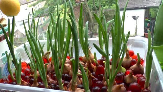 Menanam Bawang Merah Hidroponik - Hidrafarm