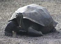 Giant Galapagos Turtle in the wild at Urbina Bay, Isabela Island, Galapagos