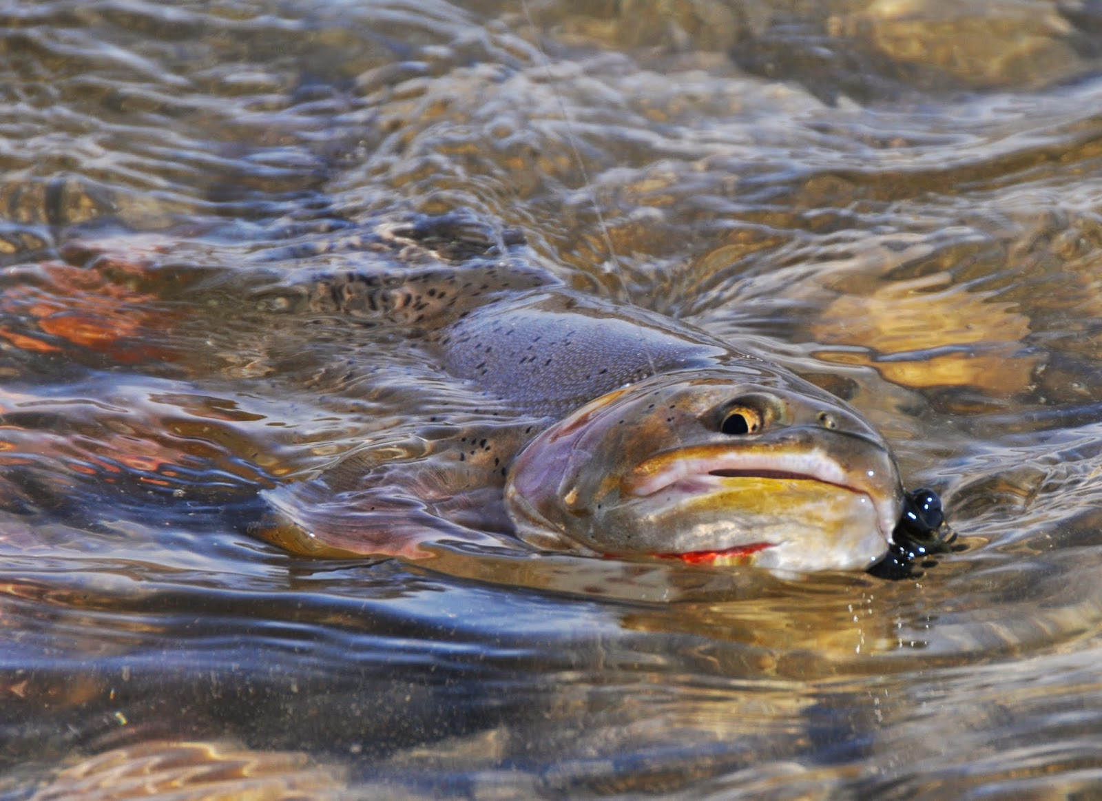 Jackson hole fly fishing report february 15 2015 for Jackson hole fly fishing
