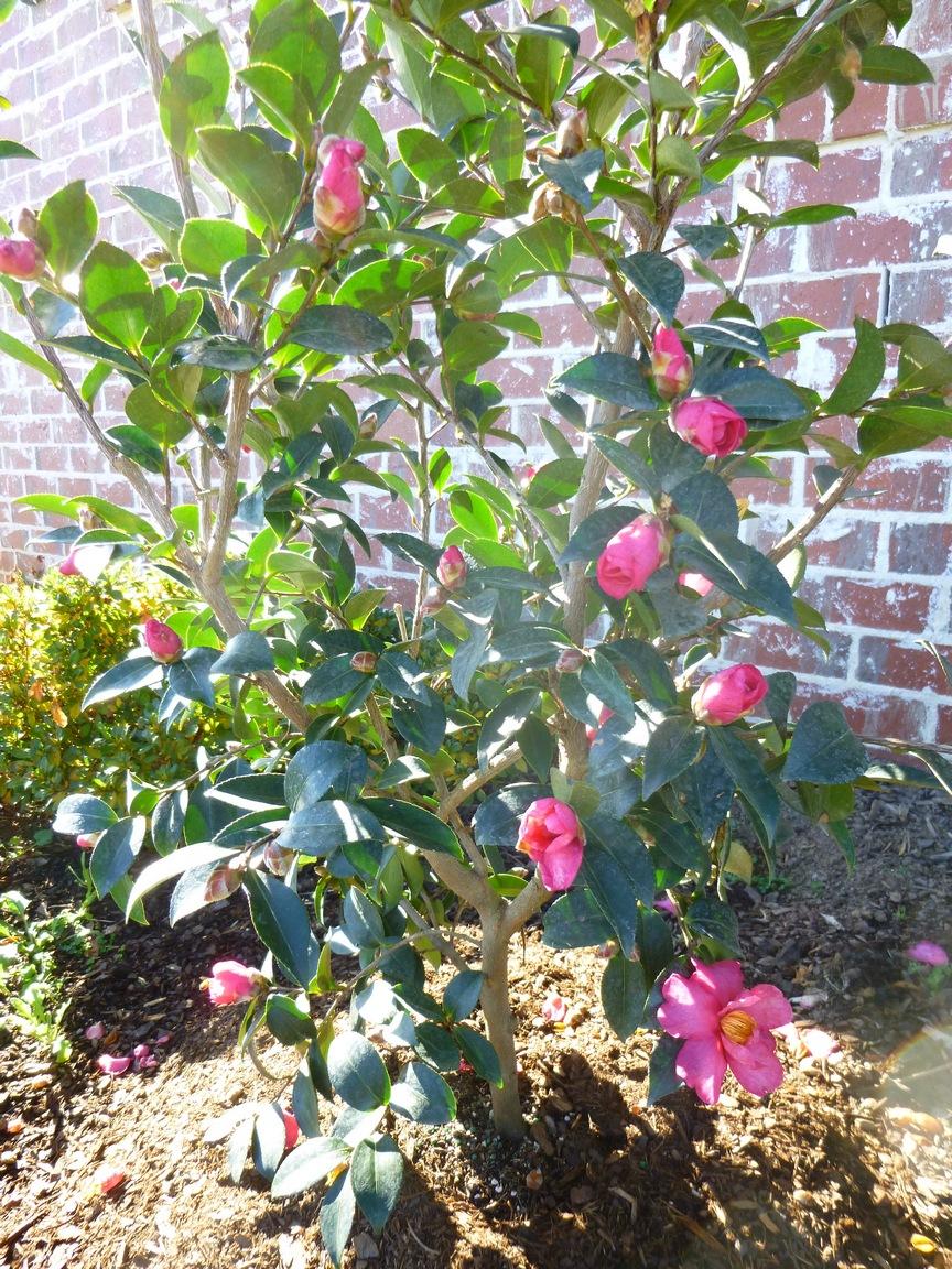 Garden of aaron the december garden camellia sasanqua for Camellia sasanqua