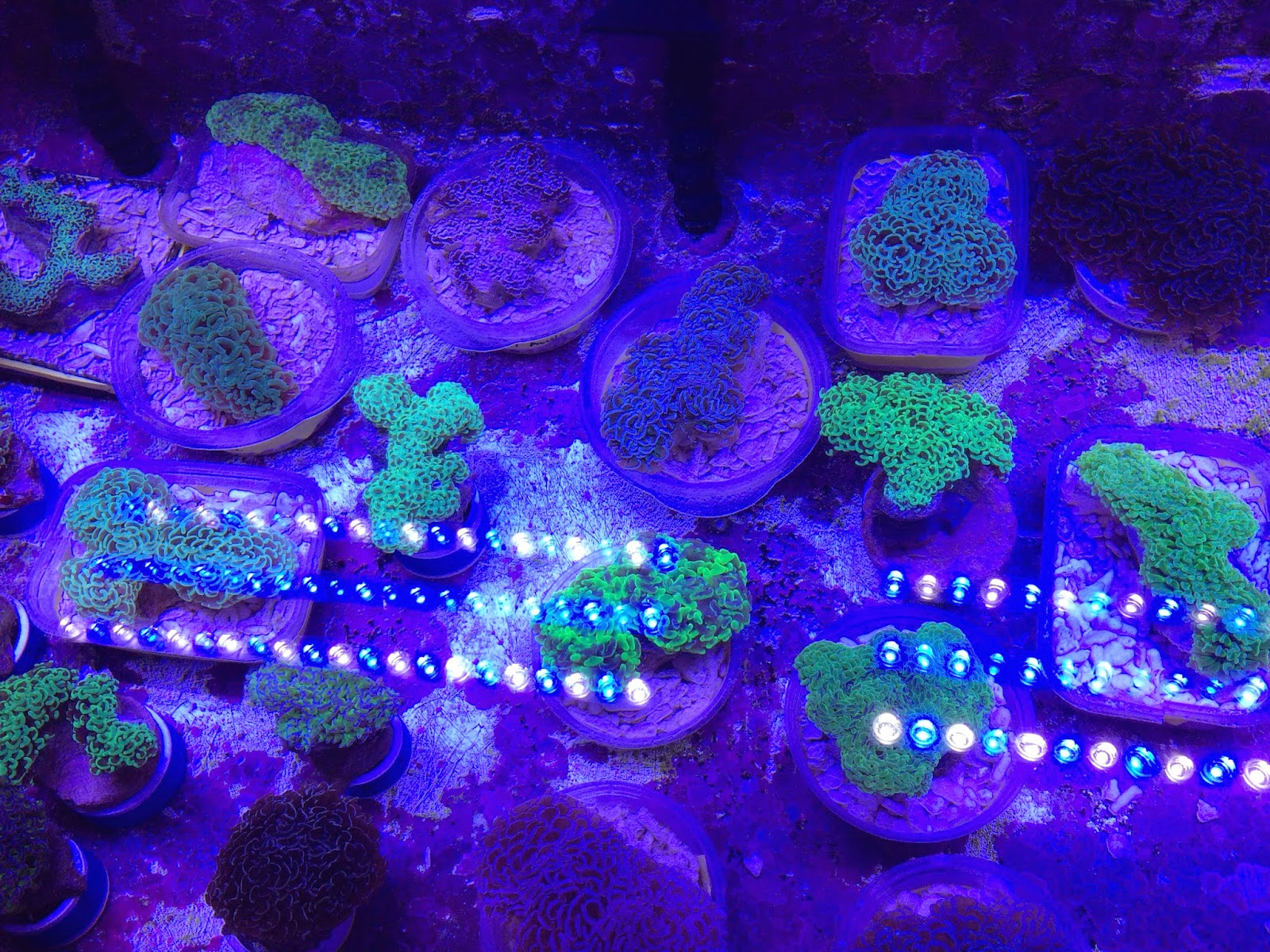 lps hammer coral