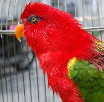 Download image Jenis Burung Merpati Ajilbab Com Portal PC, Android ...