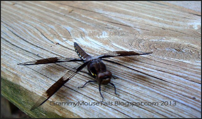 juvenile common whitetail skimmer dragonfly male photo image