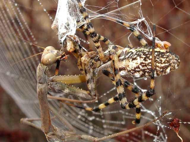 A battle between a spider and a mantis, animal fights, animal battle