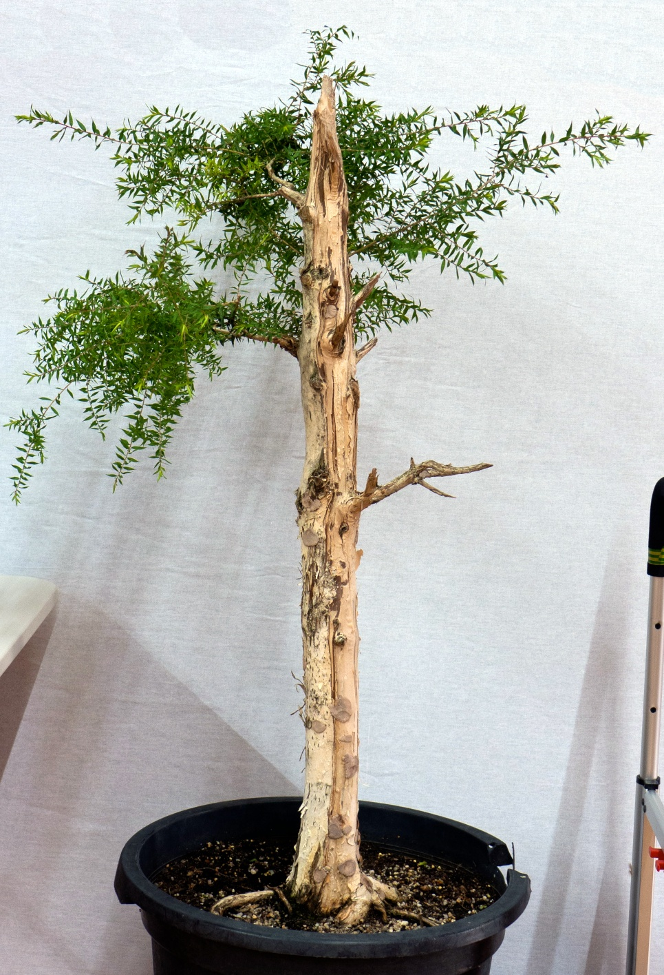 2015 january meeting australian native trees bonsai society of victoria. Black Bedroom Furniture Sets. Home Design Ideas