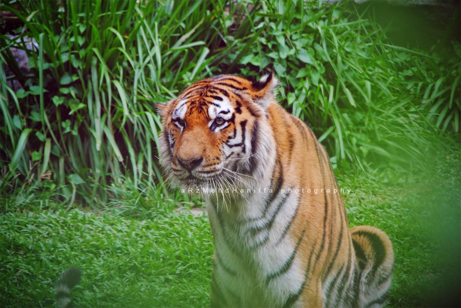 Harimau, tiger, Lost World, gambar cantik, arzmoha, visit malaysia 2014
