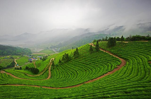 vé máy bay giá rẻ đi hàn quốc, Cánh đồng trà ở Boseong