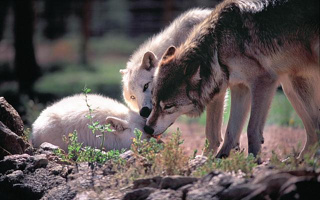 Wolves Feel Sadness And Grieve Like Humans