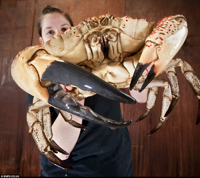Claude is a 15-pound Tasmanian giant crab that was caught in Australia and now is in British aquarium., monster tasmanian king crab, tasmanian giant crab pictures