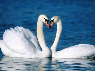 Cisnes enamorados