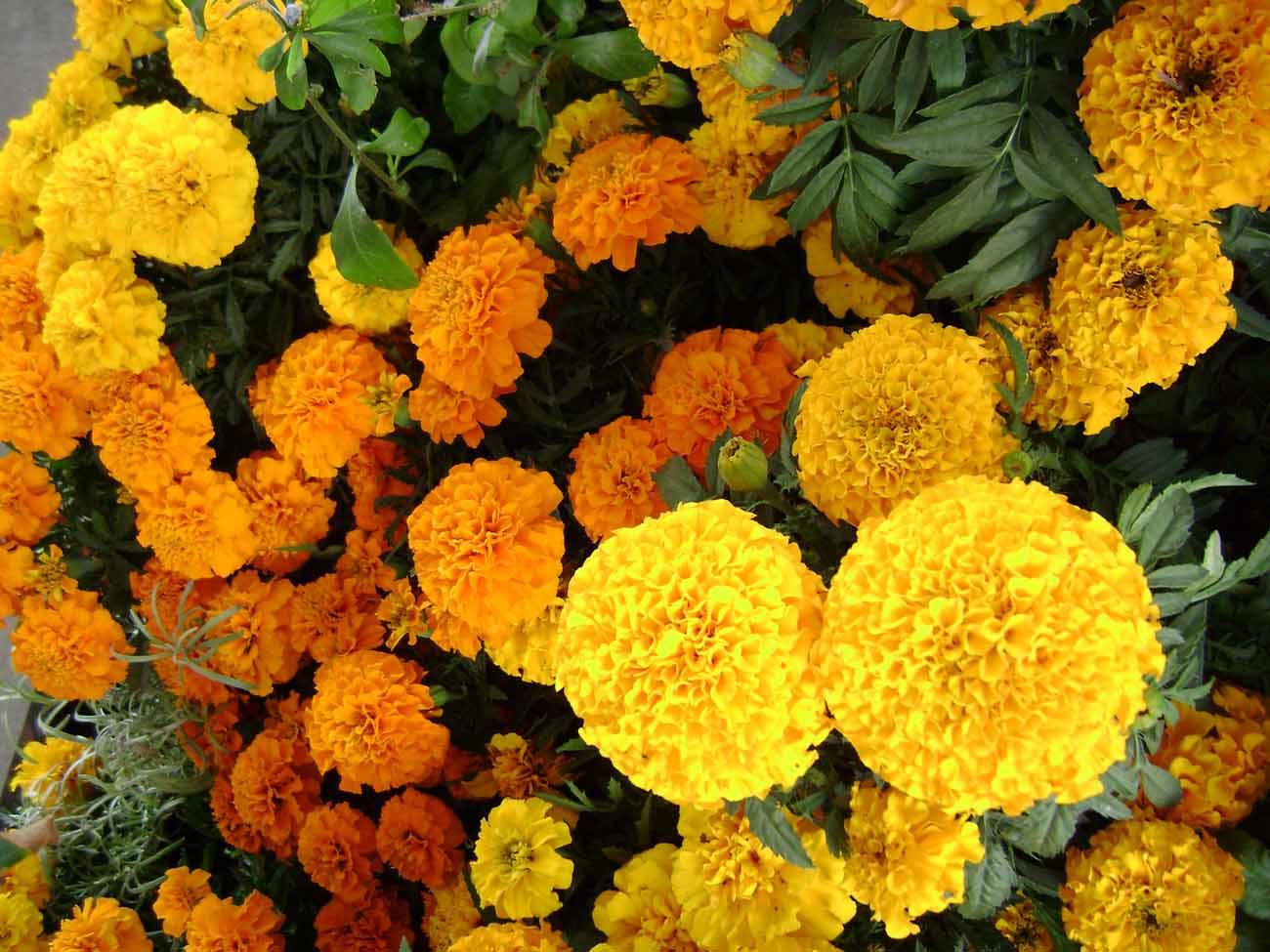 Imagenes De Flores De Cempasuchil - catrinas, flores de cempasuchil y papel picado manos a la