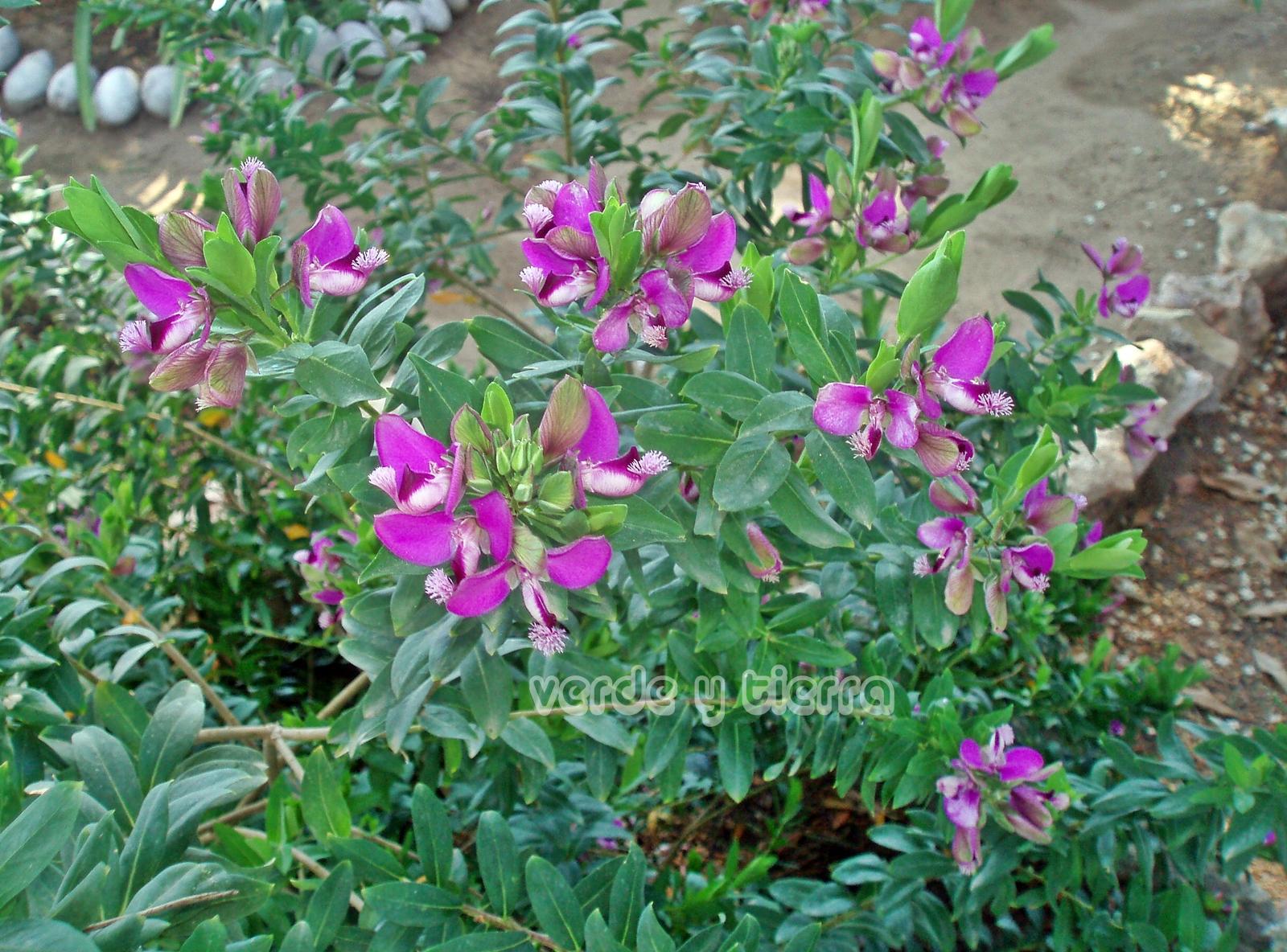 Verde y tierra polygala myrtyfolia for Arbusto de jardin