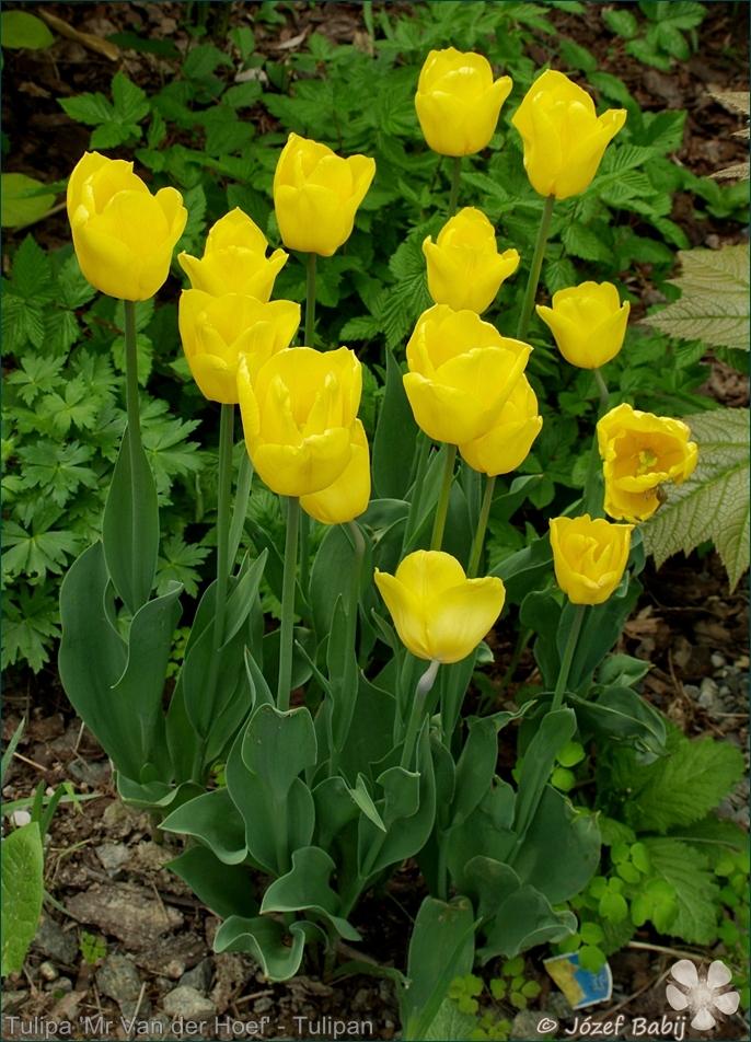 Tulipa 'Mr Van der Hoef' - Tulipan 'Mr Van der Hoef'