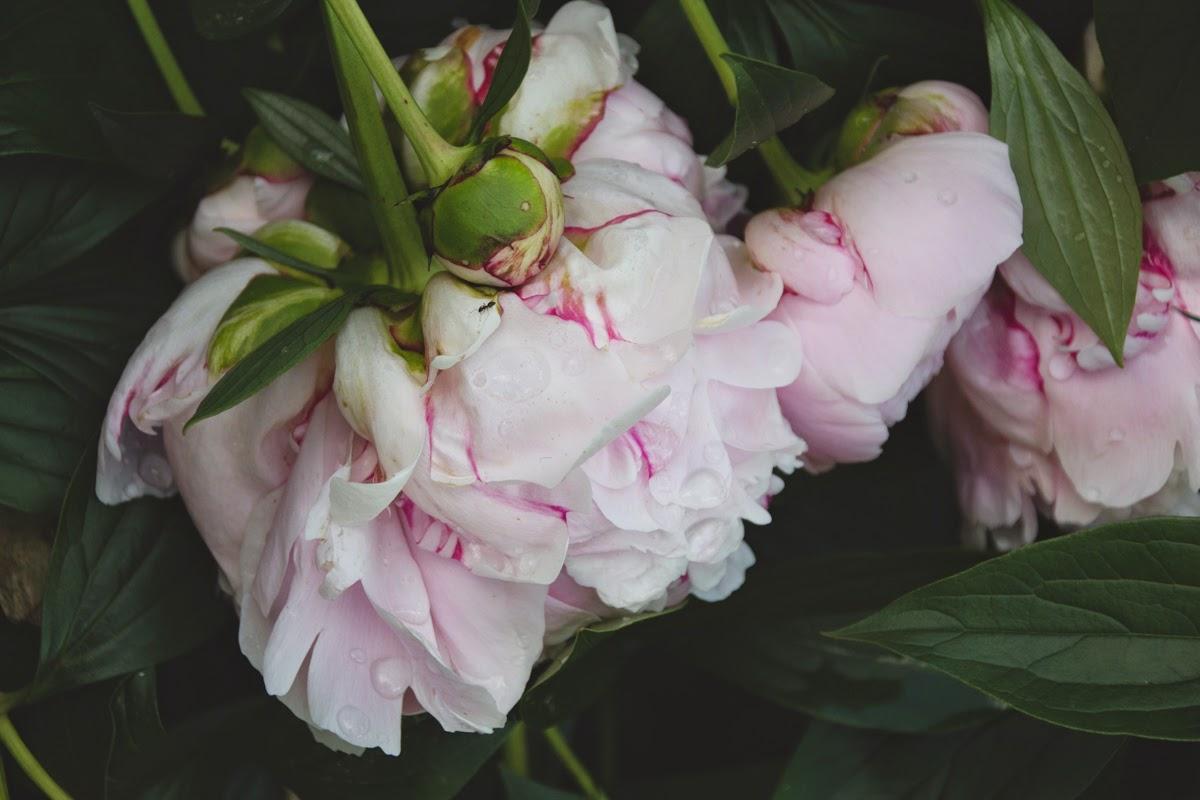 pink peonies raindrops