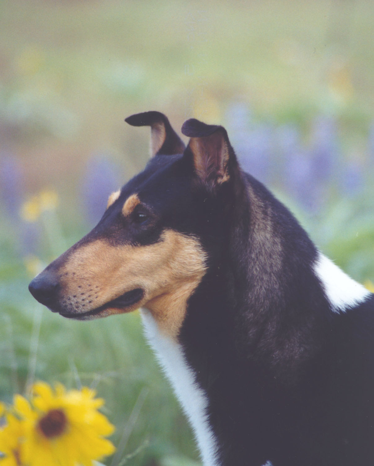 Semi Prick Ears Dogs