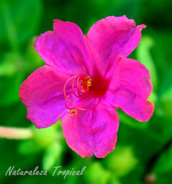 Flor de la planta Don Diego de Noche (Mirabilis jalapa)