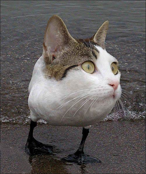 Cat%20Duck%20Photoshop%20Animal%20Hybrid