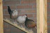 Onze kriel kippen