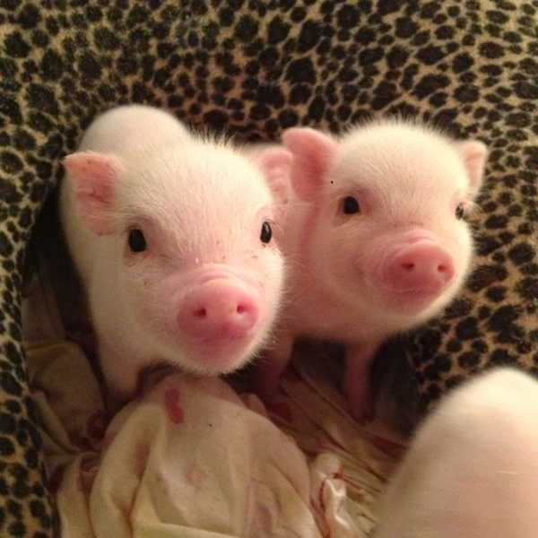 Funny animals of the week - 6 December 2013 (35 pics), two cute mini pig