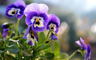 Flores lilas de primavera en el jardn - Beautiful little pansies