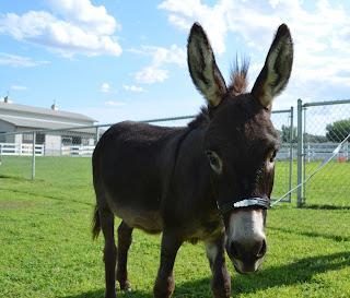 Miniature donkey show halter