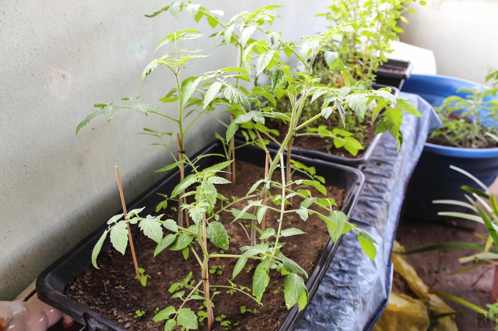 Extremamente Tomate Uva (Sweet Grape)   Meia Dose Diária MJ04