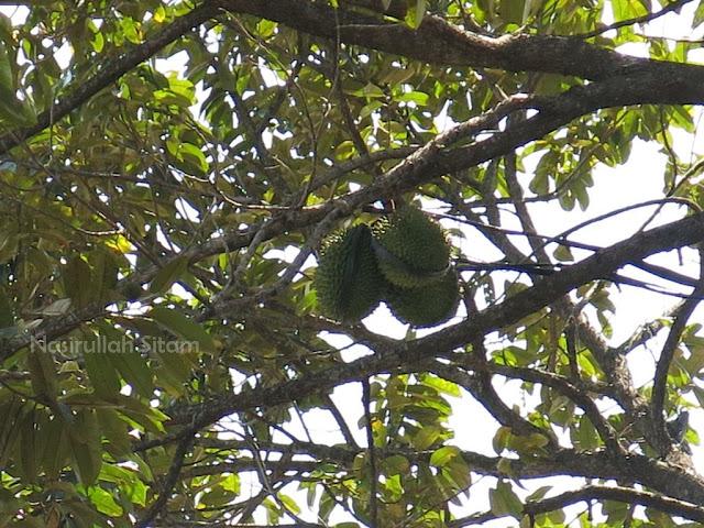 Pohon Durian yang sudah mulai berbuah