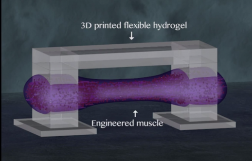 3D printed hydrogel bridge for bio-bot spinal muscle