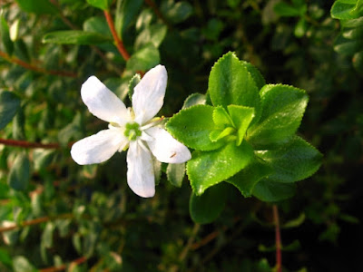 Buchu (Barosma Betulina) Overview, Health Benefits, Side effects