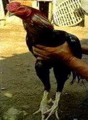Jual Ayam Laga