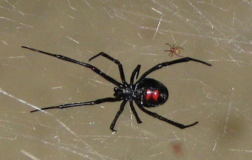 7 Laba-laba Paling Mematikan Di Dunia [ www.BlogApaAja.com ]