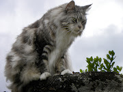 maine coon cats. This beautiful cat is from one of the areas in Maine, USA, .