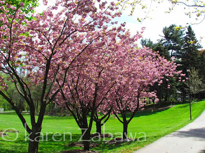 Pink Japanese Cherry trees in full bloom at Mississauga public garden in Port Credit.