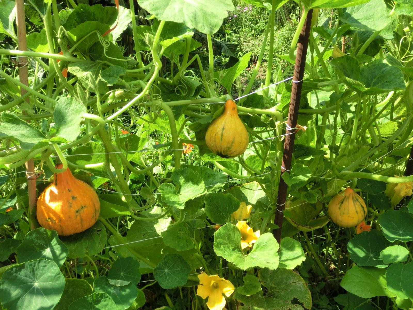 ortobello road zucca uchiki kuri antica variet