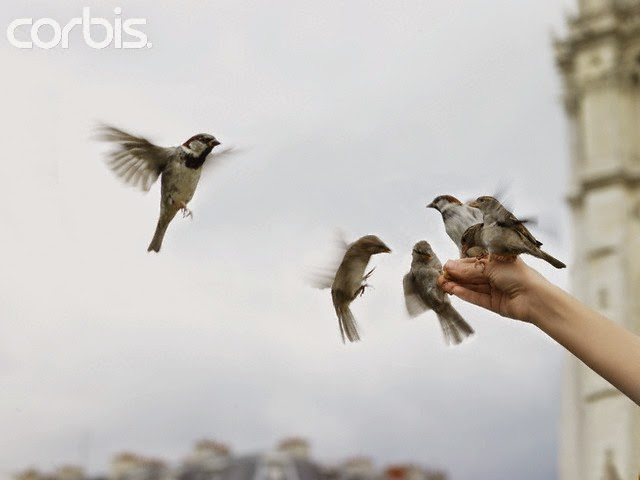 Foto Burung Pipit Terbaik