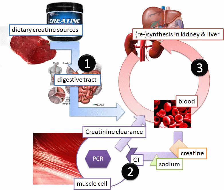 Andro the pharmacokinetics of creatine part i ii how is creatine