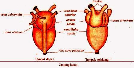 Sistem Peredaran Darah pada Hewan